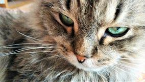 Occhi verdi di un gatto della fine siberiana su immagine stock libera da diritti