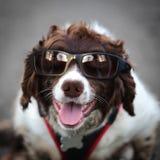 Occhiali da sole d'uso del cane divertente dei pantaloni a vita bassa Fotografia Stock