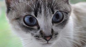 Occhiata penetrante del gatto siamese immagine stock