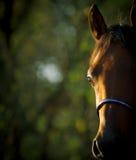 Occhio arabo del cavallo Fotografia Stock Libera da Diritti