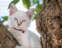 Occhio azzurro del gatto del bambino sull'albero Fotografia Stock