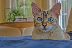 Occhio azzurro eccellente del gatto di bellezza del Bengala Fotografia Stock Libera da Diritti