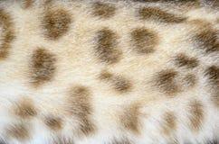 Occhio azzurro eccellente del gatto di bellezza del Bengala Fotografia Stock