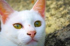 Occhio bianco del yelow del fronte del gatto Fotografie Stock Libere da Diritti