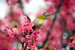 Occhio bianco giapponese su un albero del fiore di ciliegia Fotografie Stock Libere da Diritti