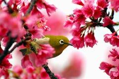Occhio bianco giapponese su un albero del fiore di ciliegia Fotografie Stock