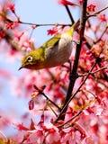 Occhio bianco giapponese su un albero del fiore di ciliegia Fotografia Stock