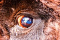 Occhio del bisonte Primo piano immagini stock libere da diritti