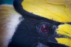 Occhio del bucero Immagini Stock