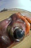 Occhio del calamaro Immagini Stock Libere da Diritti