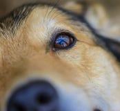 Occhio del cane immagine stock
