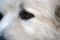 Occhio del cane di Terranova Fotografie Stock