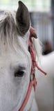 Occhio del cavallo di Lipizzaner Fotografia Stock