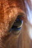 Occhio del cavallo di Shetland Fotografie Stock