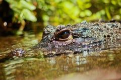 Occhio del coccodrillo Fotografie Stock