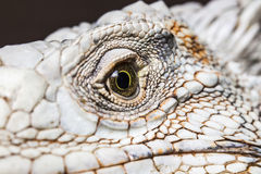 Occhio del drago Fotografia Stock