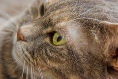 Occhio del gatto Immagini Stock