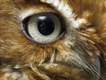 Occhio del gufo marrone immagini stock libere da diritti