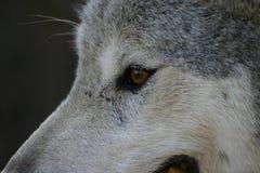 Occhio del lupo Immagini Stock Libere da Diritti