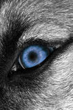 Occhio del lupo - più blu Fotografia Stock Libera da Diritti