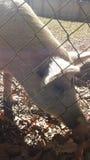 Occhio del maiale Fotografia Stock