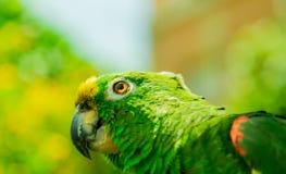 Occhio del pappagallo Fotografie Stock Libere da Diritti