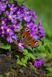 Occhio del pavone della farfalla immagini stock