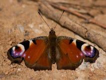 Occhio del pavone della farfalla Immagini Stock Libere da Diritti