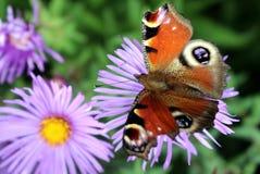 Occhio del pavone della farfalla Fotografia Stock