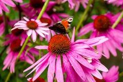 Occhio del pavone della farfalla Immagine Stock Libera da Diritti