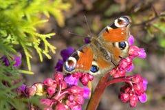 Occhio del pavone della farfalla con il primo piano colorato colorato delle ali Immagini Stock