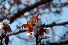 Occhio del pavone della farfalla su un'albicocca sbocciante Fotografie Stock Libere da Diritti