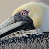 Occhio del pellicano fotografia stock libera da diritti