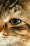 Occhio del Pixie-Bob fotografia stock libera da diritti