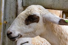 Occhio del primo piano delle pecore bianche e marroni immagine stock libera da diritti