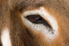 Occhio del primo piano di ricerca della mucca fotografia stock