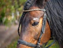 Occhio del primo piano di un cavallo di baia con i cigli su un fondo bianco fotografia stock