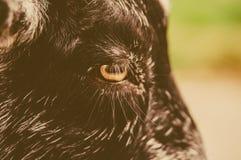 Occhio del primo piano di una capra Fotografie Stock