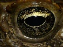 Occhio del rospo della canna Fotografia Stock Libera da Diritti