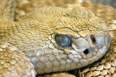 Occhio del serpente fissare, primo piano Fotografia Stock
