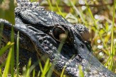 Occhio dell'alligatore Fotografia Stock