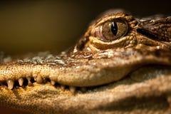 Occhio dell'alligatore del bambino Immagine Stock