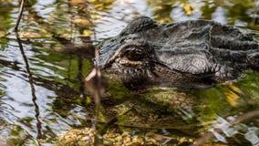 Occhio dell'alligatore, terreni paludosi parco nazionale, Florida Immagine Stock