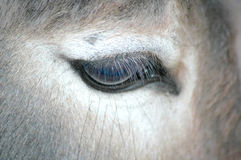 Occhio dell'asino Fotografie Stock Libere da Diritti