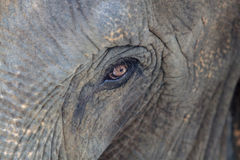 Occhio dell'elefante Immagine Stock