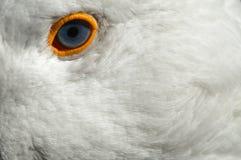 Occhio dell'oca Immagini Stock