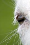 Occhio della capra. Fotografie Stock Libere da Diritti