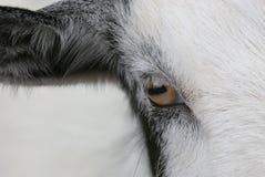 Occhio della capra fotografia stock