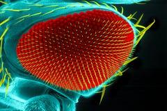 Occhio della drosofila Immagine Stock