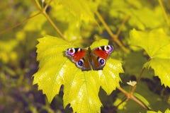 Occhio della farfalla del pavone immagini stock